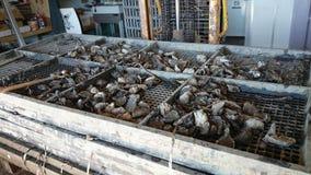 新的被捉住的牡蛎 免版税图库摄影