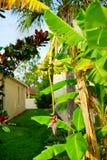 新的被种植的香蕉 库存照片