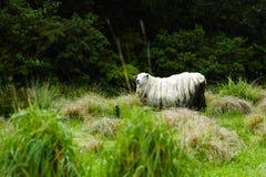 新的绵羊西兰 库存照片