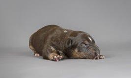 新的bord杂种犬狗 库存照片