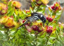 新的Hollans蜂蜜食者 库存照片