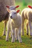 新的sheeps 免版税库存图片