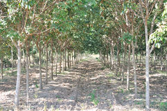 新种植园的橡胶树 库存图片