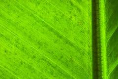 新绿色与叶主脉垂线的香蕉叶子表面结构极端宏观特写镜头照片对框架 库存图片