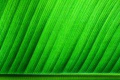 新绿色与叶主脉的香蕉叶子表面结构极端宏观特写镜头照片在框架的更低的边 免版税图库摄影