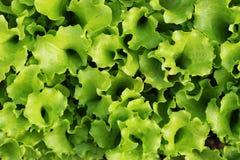 新绿色卷曲莴苣沙拉背景 顶视图 图库摄影