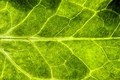 新绿色叶子坚固性结构极端宏观特写镜头照片绿色背景纹理 库存图片