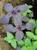 新绿色和红色蓬蒿草本背景,顶视图 生长在庭院里的蓬蒿植物 蓬蒿植物-叶子纹理  库存照片