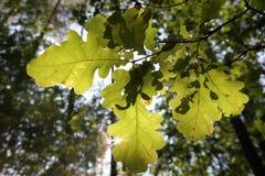 新绿色在构筑太阳的森林离开 库存图片