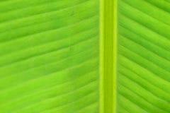 新绿色夏天香蕉叶子细节宏观纹理  库存图片