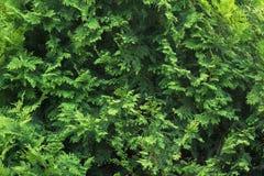新绿色常青树金钟柏分支纹理 库存照片