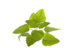 新绿色查出的造币厂的有机白色 库存图片