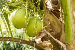 新绿色椰子自然 免版税库存照片