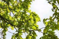 新绿色留下槭树 库存照片