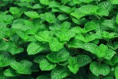 新绿色留下薄菏 背景的自然样式 库存图片