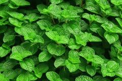 新绿色留下薄菏 背景的自然样式 库存照片