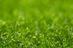 新绿色青苔本质 免版税库存照片