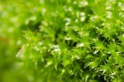 新绿色青苔本质 免版税库存图片