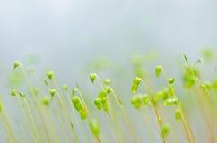 新绿色青苔本质 免版税图库摄影