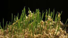 新绿色麦子生长 Timelapse与增长的植物新的生活 股票视频