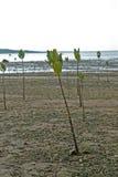 新美洲红树 库存照片