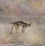 新美洲野猫 免版税库存图片