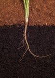 新芽和根 库存照片