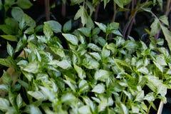 胡椒幼木,胡椒,春天幼木年轻叶子  免版税图库摄影