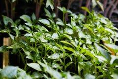 胡椒幼木,胡椒,春天幼木年轻叶子  图库摄影