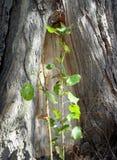 新芽树白杨树 库存照片