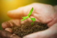 年轻新芽植物在老肮脏的手,概念上 库存照片