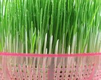 新芽麦子 库存图片