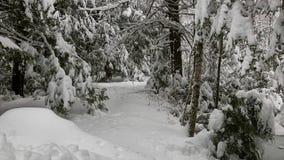 新英格兰冬天在雪风暴以后的杉木森林 免版税库存图片