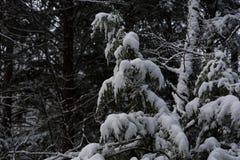 新英格兰冬天在雪风暴以后的杉木森林 库存图片
