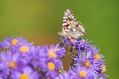 新英格兰翠菊的被绘的夫人Butterfly 免版税库存图片