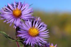 新英格兰翠菊 免版税图库摄影