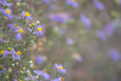 新英格兰翠菊 免版税库存图片