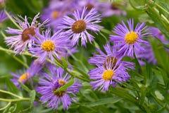 新英格兰翠菊Symphyotrichum新星angliae 库存图片
