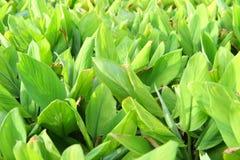 新莎草属植物领域 库存图片