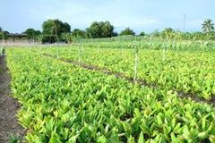 新莎草属植物领域 免版税库存照片