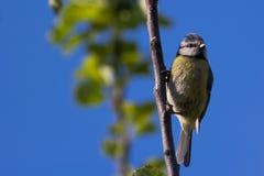 新蓝冠山雀(Cyanistes Caerleus) 免版税图库摄影