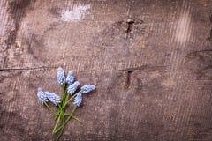 新蓝色muscaries在年迈的木背景开花 图库摄影