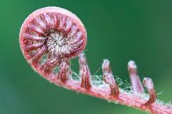 新蕨的叶子 库存照片