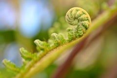 新蕨的叶状体 免版税库存照片