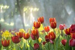 新薄雾的领域开花的橙色郁金香花园与太阳亮光 免版税库存照片