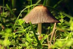 新蘑菇(Mycena viscosa Maire) 图库摄影