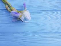 新虹膜开花秀丽庆祝在蓝色木背景的装饰卡片高雅花 免版税库存照片