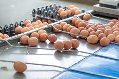新蛋分级和分拣机、等级鸡蛋由重量和大小 免版税图库摄影