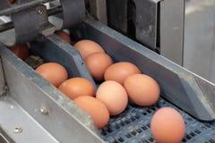 新蛋分级和分拣机、等级鸡蛋由重量和大小 免版税库存图片