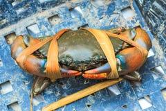 新被加锯齿的泥螃蟹黑色在海鲜市场上 库存照片